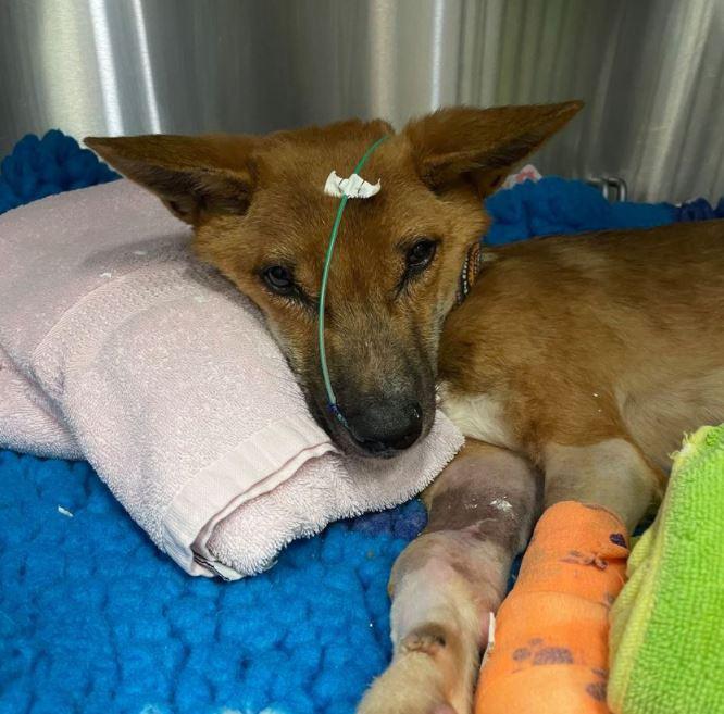Sydney Fox and Dingo Rescue