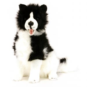 Bocchetta Tommy Border Collie Dog Stuffed Animal Soft Plush Toy, 35 cm Height