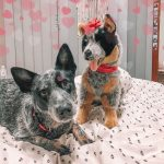 Rocky plush cattle dog with ribbon