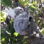 furtastic friend realistic quality plush toy baby koala